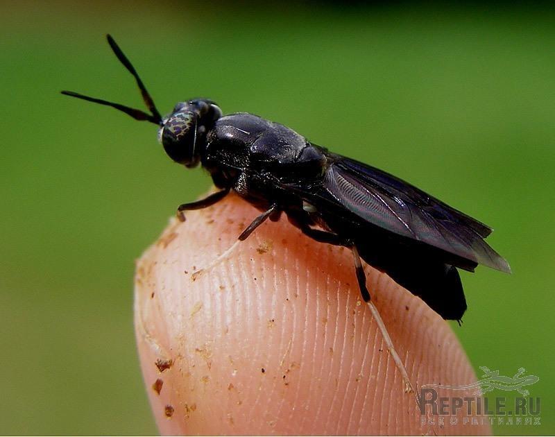Падальные мухи — Википедия