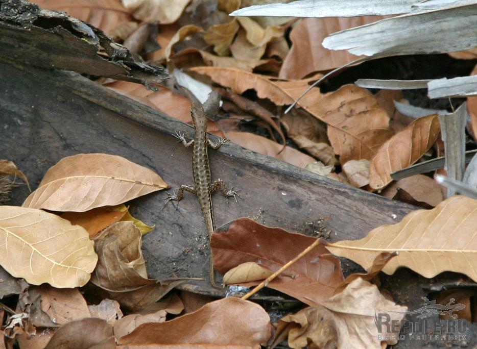 http://www.reptile.ru/forum/photobig.php?id=40136