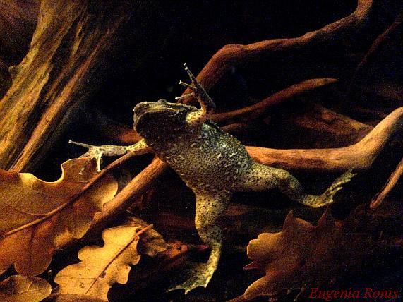 Pipa carvalhoi vs. Pipa parva Reptile.ru-20101205144006