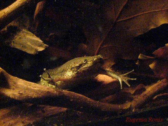 Pipa carvalhoi vs. Pipa parva Reptile.ru-20101208020106